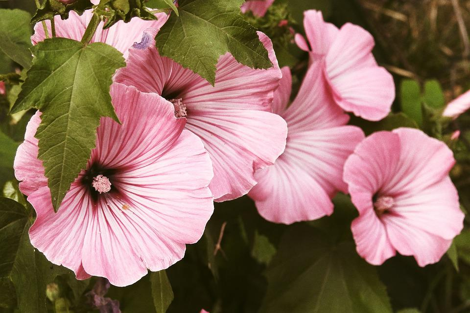 Mallow Flowers Pink Free Photo On Pixabay