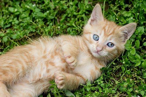Tabby Kitten, Red Cat, Ginger Kitten