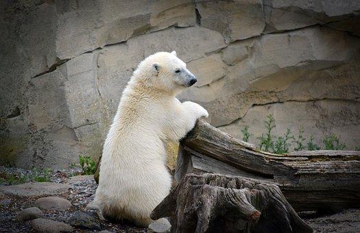 Polar Bear, Jeune Ours Polaire, Blanc