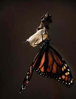 Butterfly, Monarch, Monarch Butterfly