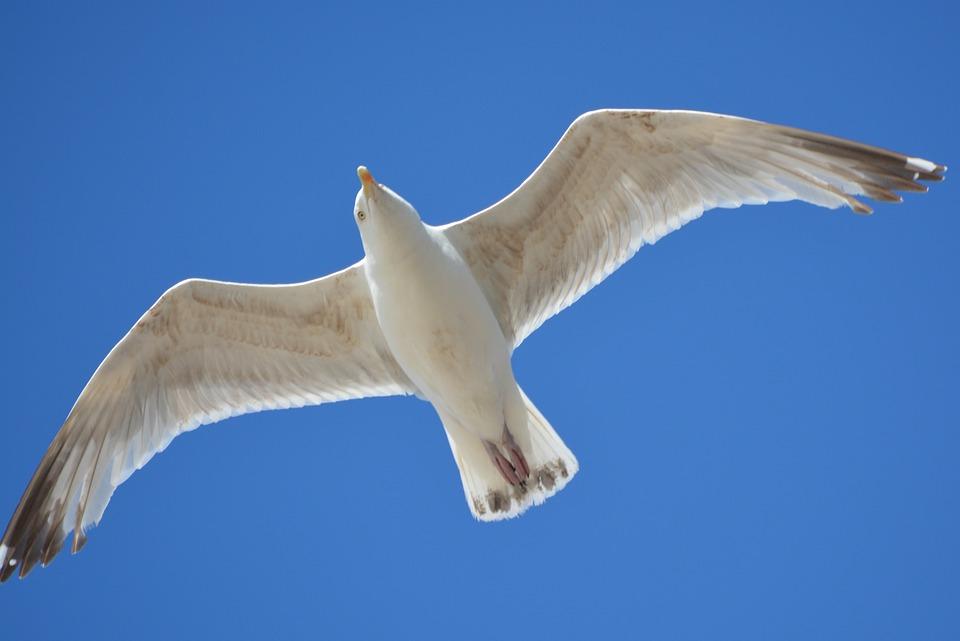 海鸥, 动物, 飞, 性质, 翅膀, 空气, 蓝色的天空