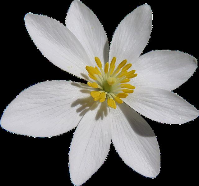 Blood Turmeric White Flower Cut 183 Free Image On Pixabay