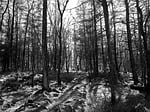 black and white, woodland, forest