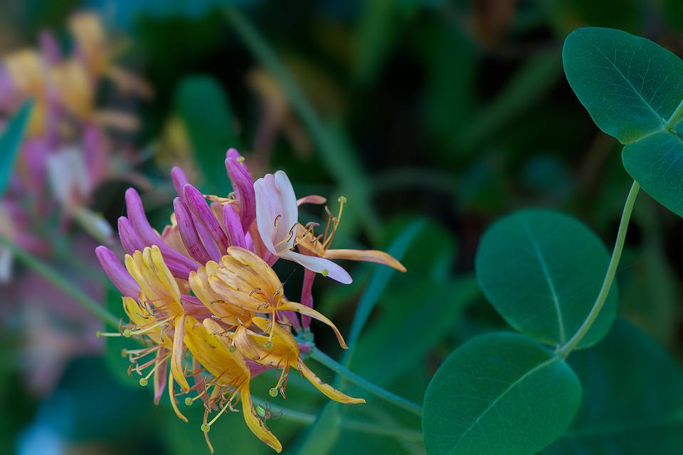 Fiore, Colorato, Giardino, Nel Giardino, Caprifoglio