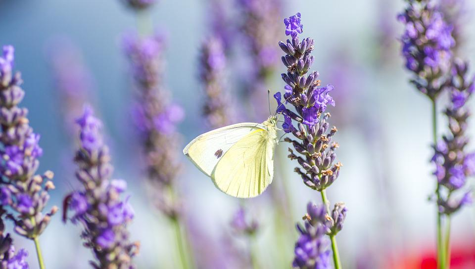 Free photo: Butterfly, Lavender, Summer, Violet - Free