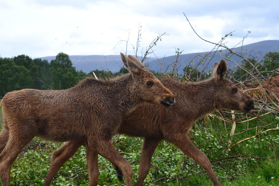 dyr i skotland