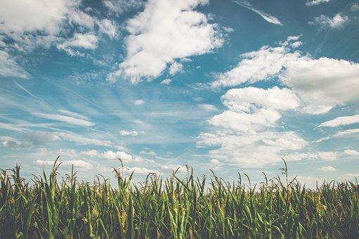 フィールド, トウモロコシ, 空気, 新鮮, 農業, トウモロコシ畑, 収穫
