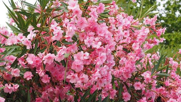 Oleander, Bush, Nerium Oleander