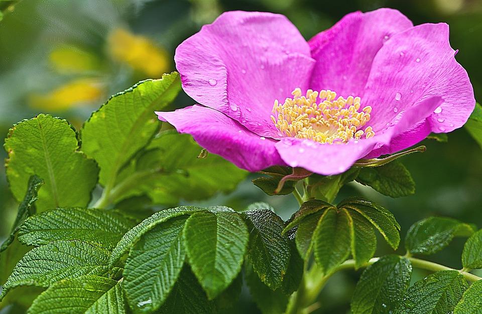 Fiore, Rose, Wild Rose, Natura, Macro, Petali Di Rosa