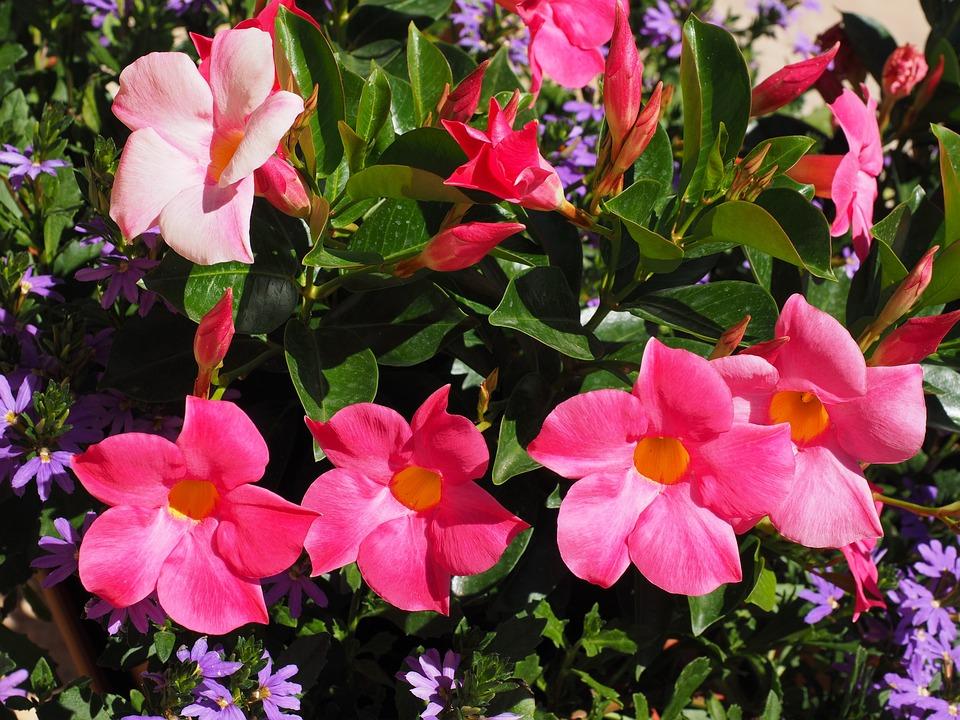 Mandevilla, Bell Shaped, Funnel Flower, Blossom, Bloom
