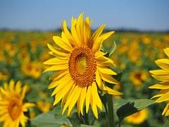 Sunflower, Inflorescence