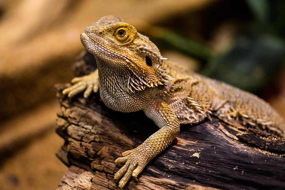 Lizard, Agame, Reptielen, Amfibie, Dragon, Droge, Stone