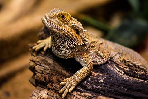 Lizard Agame Reptile Amphibian Dragon Dry