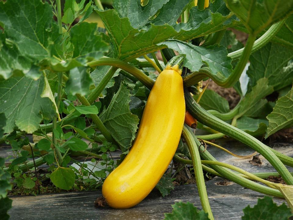 Zucchini, Vegetables, Cultivation, Vegetarian, Vegan