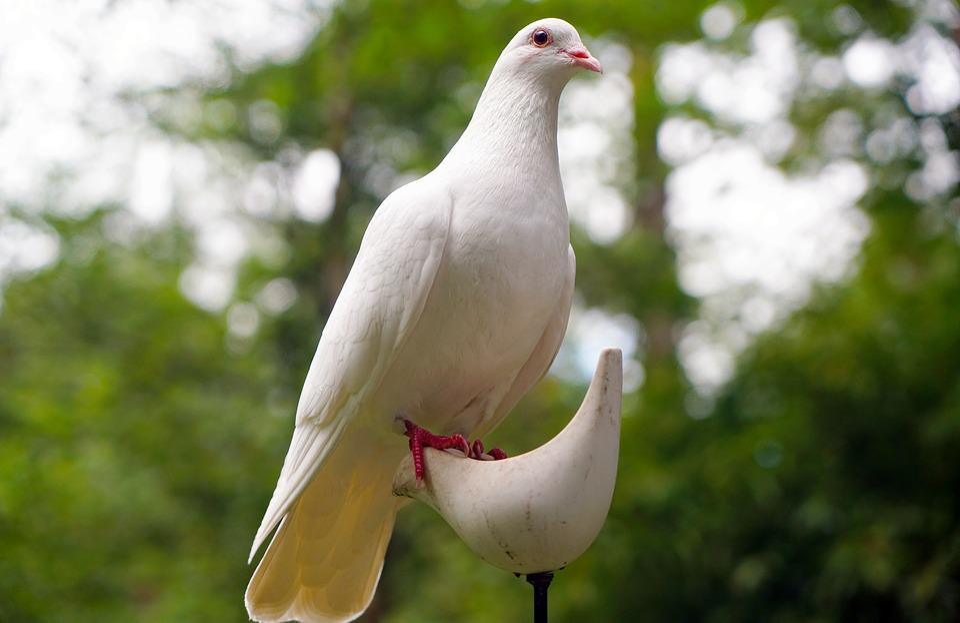 Free photo Dove Bird Nature Peace White Free Image on