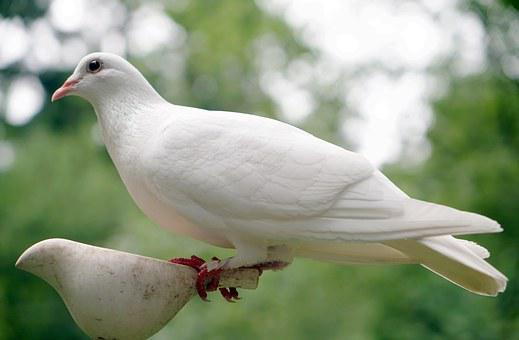 Dove images pixabay download free pictures dove bird nature peace white hope symbol r voltagebd Gallery