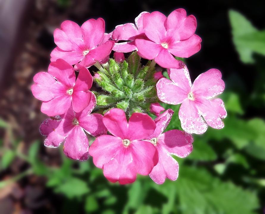 photo gratuite: verveine, fleur, verbenaceae, rose - image