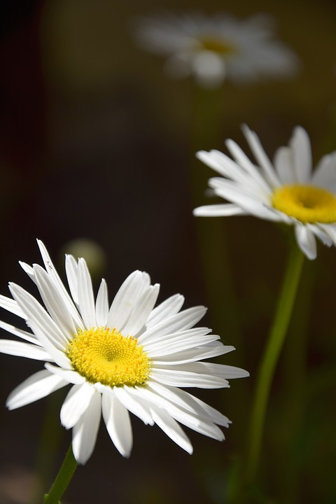 free photo daisies, margaret, white daisy  free image on pixabay, Beautiful flower