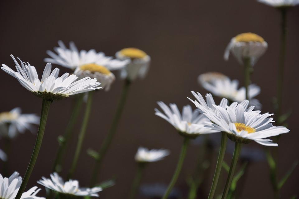 free photo daisies, white daisies  free image on pixabay, Beautiful flower