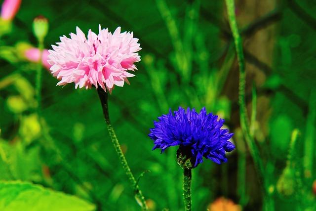Василёк цветов в природе