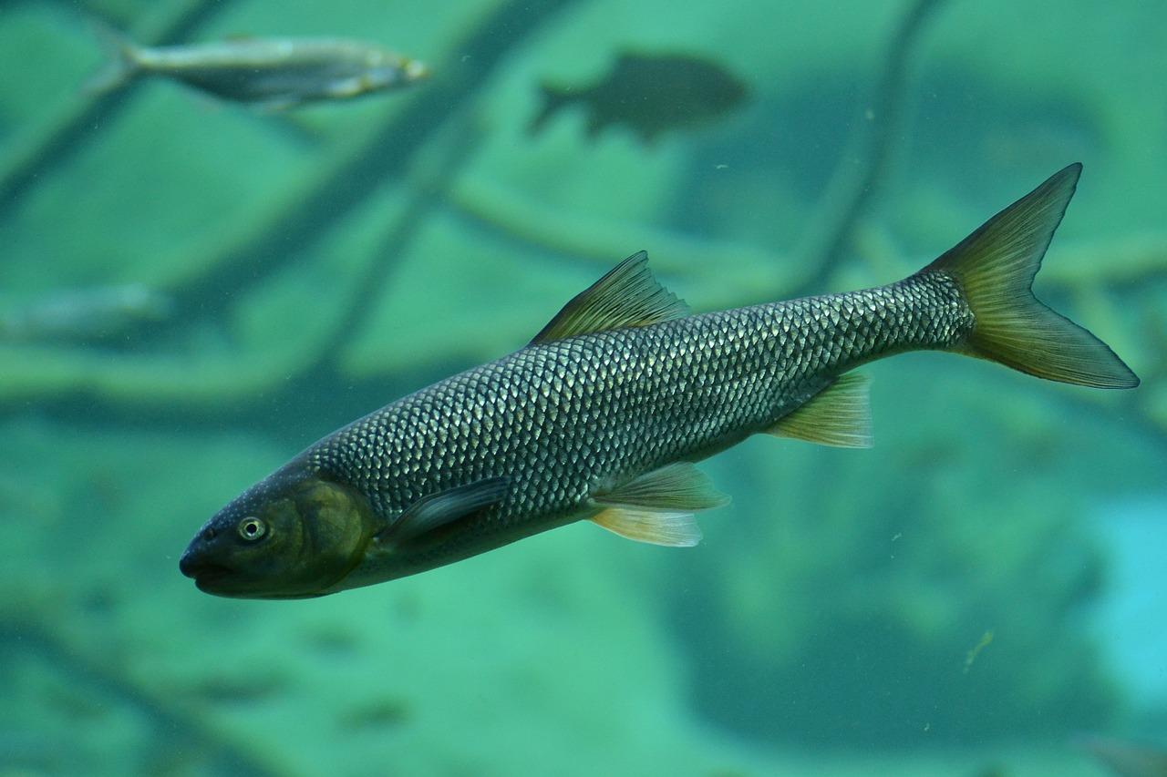 Речная пресноводная рыба фото