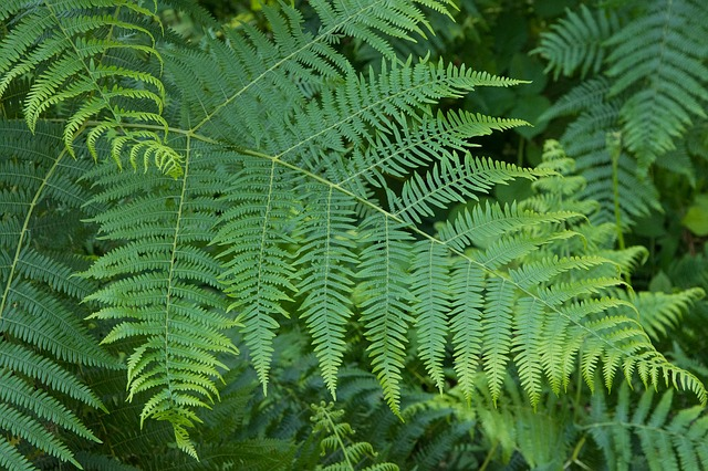 Free Photo Fern Leaves Green Nature Plant Free
