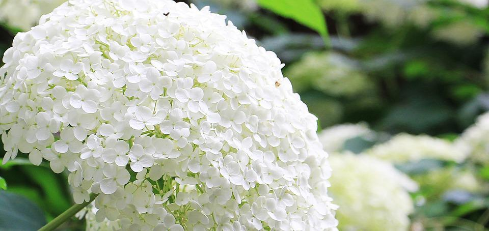 free photo hydrangea, flower  free image on pixabay, Beautiful flower