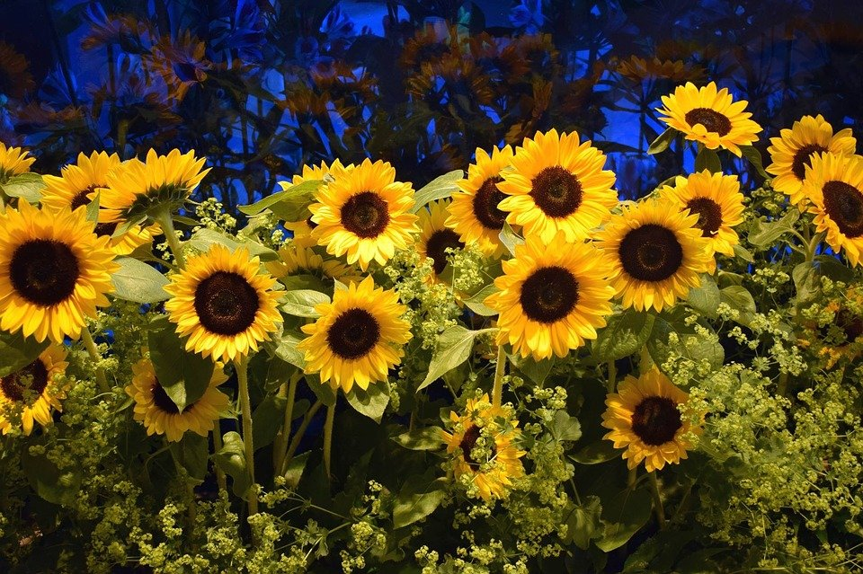 Sunflower Field Of Flowers 183 Free Photo On Pixabay