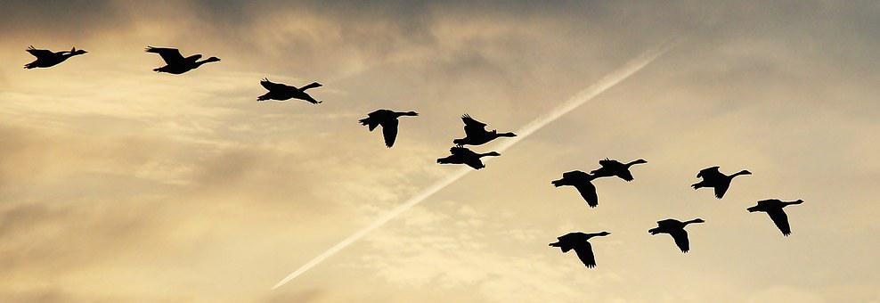 Sky, Clouds, Geese, Flightless Geese