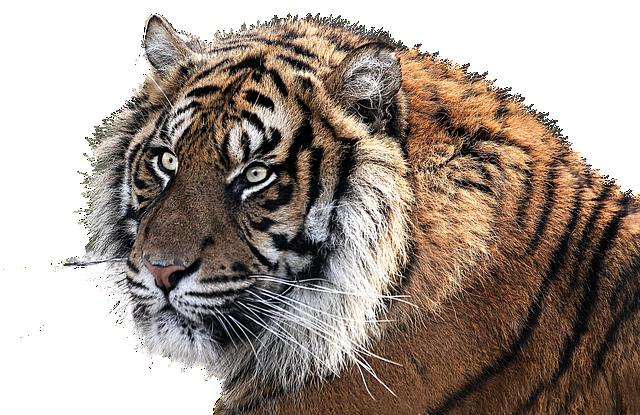Free photo tiger tiger head animal feline free image - Image tete de tigre ...