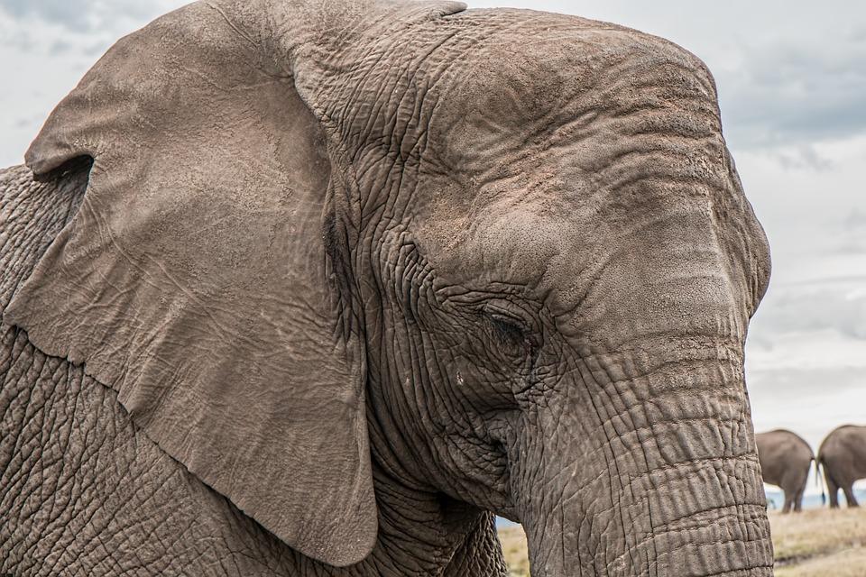 Elefante, Tronco, Grande, Africana