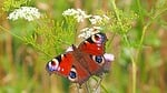 peacock butterfly, edelfalter, butterfly