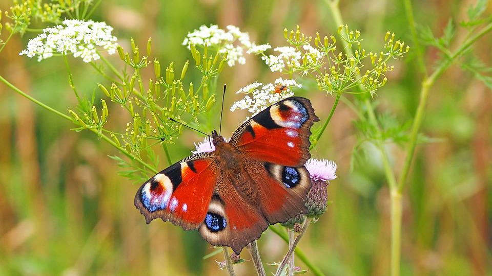 Pavone, Edelfalter, Farfalla, Farfalle, Vicino, Natura