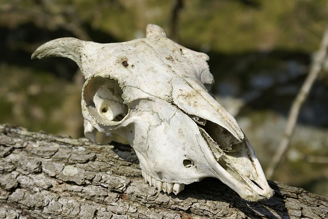 Skull Skeleton Sheep 183 Free Image On Pixabay