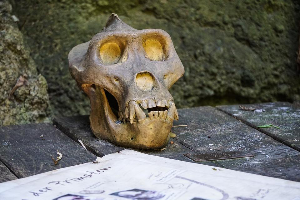 Affen Schädel Skelett · Kostenloses Foto auf Pixabay