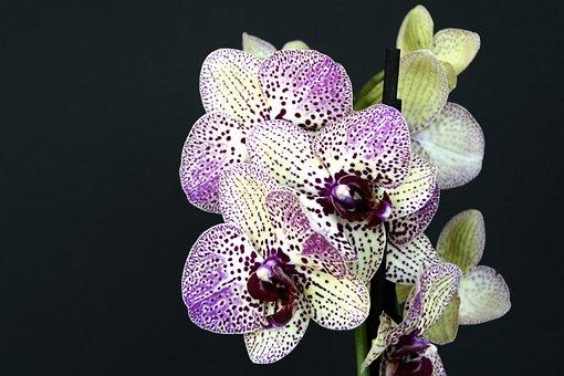 Orquídeas, Flores, Flor, Violeta Branco