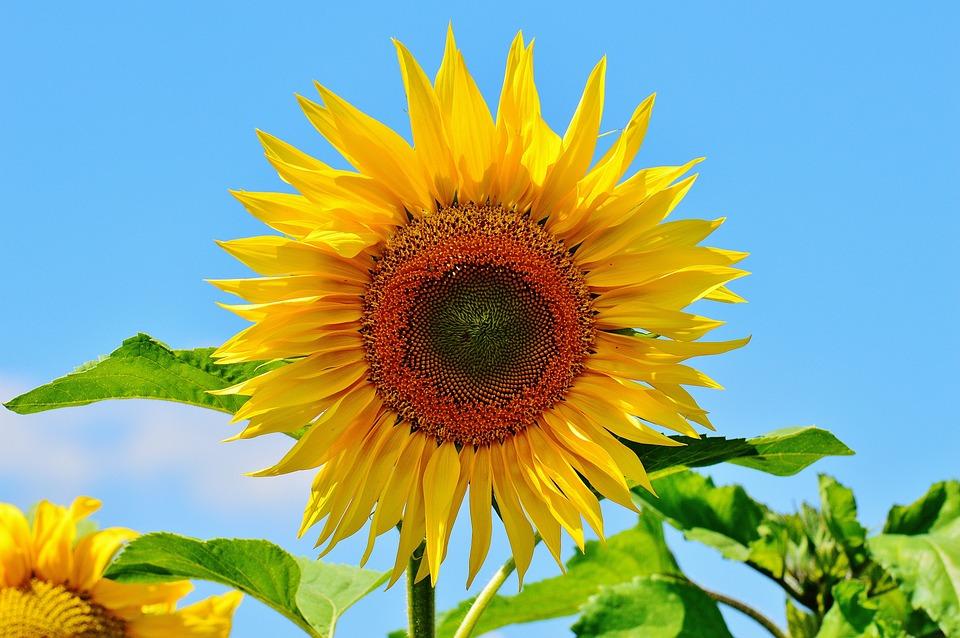 fleur du soleil été jardin fleur jaune helianthus