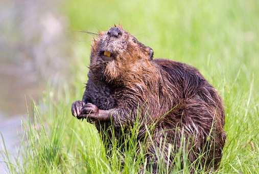 Beaver, Pond, Wildlife, Aquatic, Cute