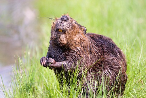 Beaver, Pond, Wildlife, Aquatic, Cute