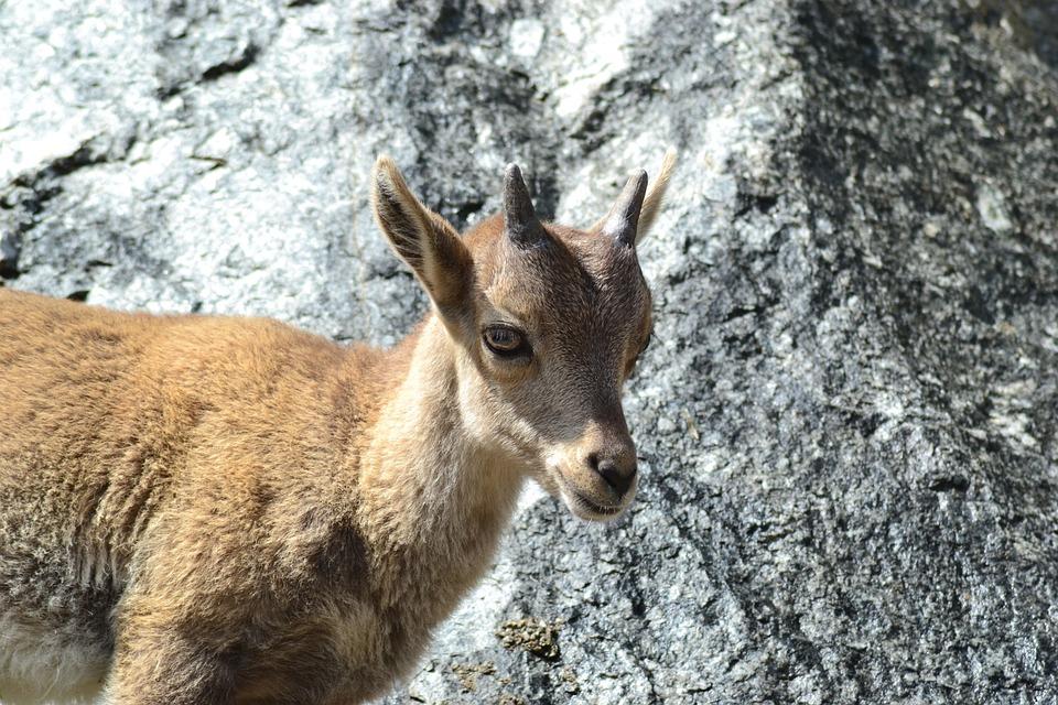 Free photo: Capricorn, Animal Child, Mountains