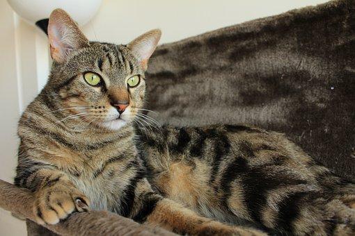 cyperse kat beelden - download gratis afbeeldingen - pixabay