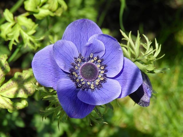 free photo anemone wood anemone flower free image on. Black Bedroom Furniture Sets. Home Design Ideas