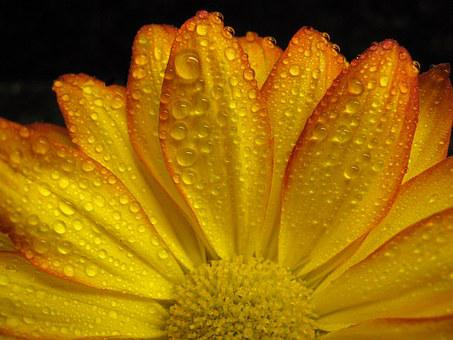gerbera  free images on pixabay, Beautiful flower