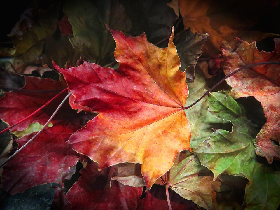 Картинки природа листья клена