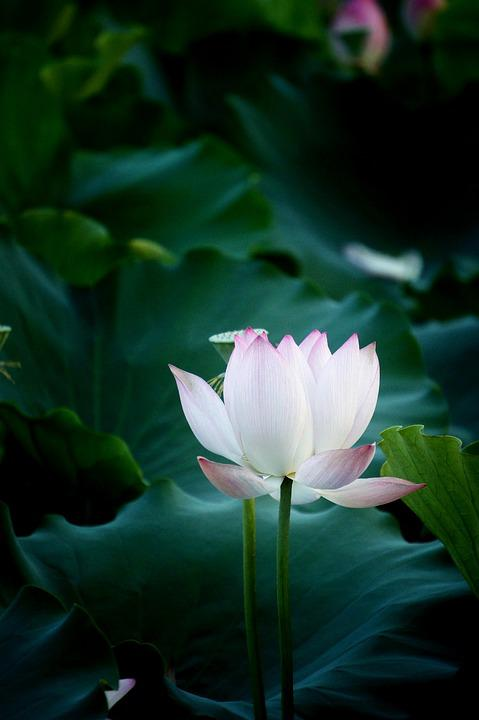 free photo flower, lotus, natural, photography  free image on, Beautiful flower