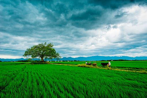 In Wheat Field, Agriculture, Green Grass