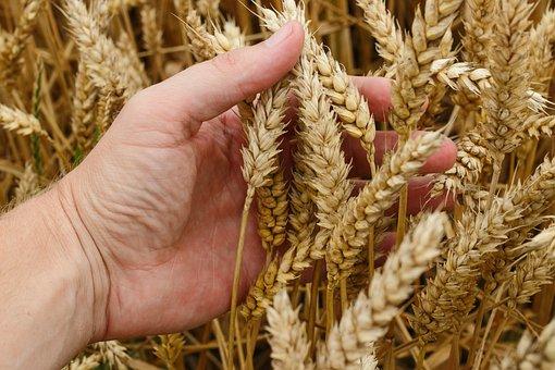 Trigo Grano Cultivos Pan Cosecha Agricultu