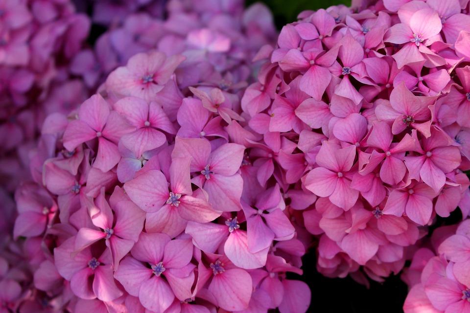 Hydrangea, Flower, Pink, Violet