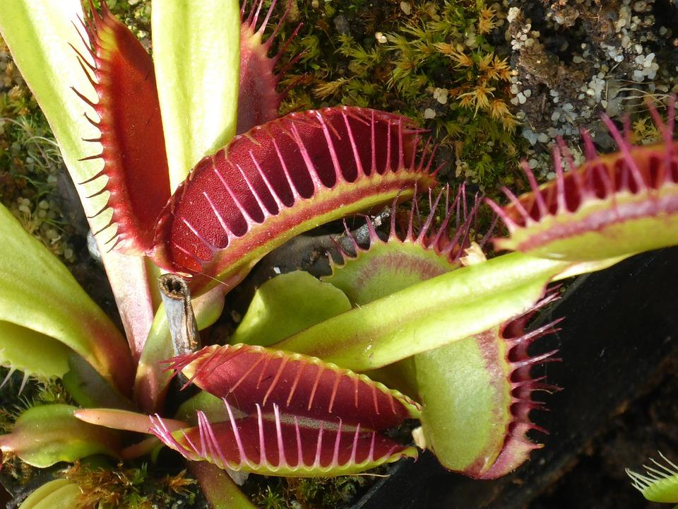 plante carnivore venus flytrap