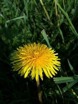 Dandelion, Grass, Wildflower, Lawn